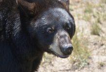 UTAH BLACK BEAR