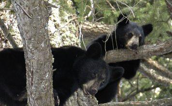 NEW BEAR HUNTING AREAS