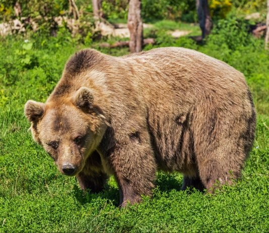 ACTIVIST GROUP SUES TO MOVE GRIZZLIES TO NEW HOME