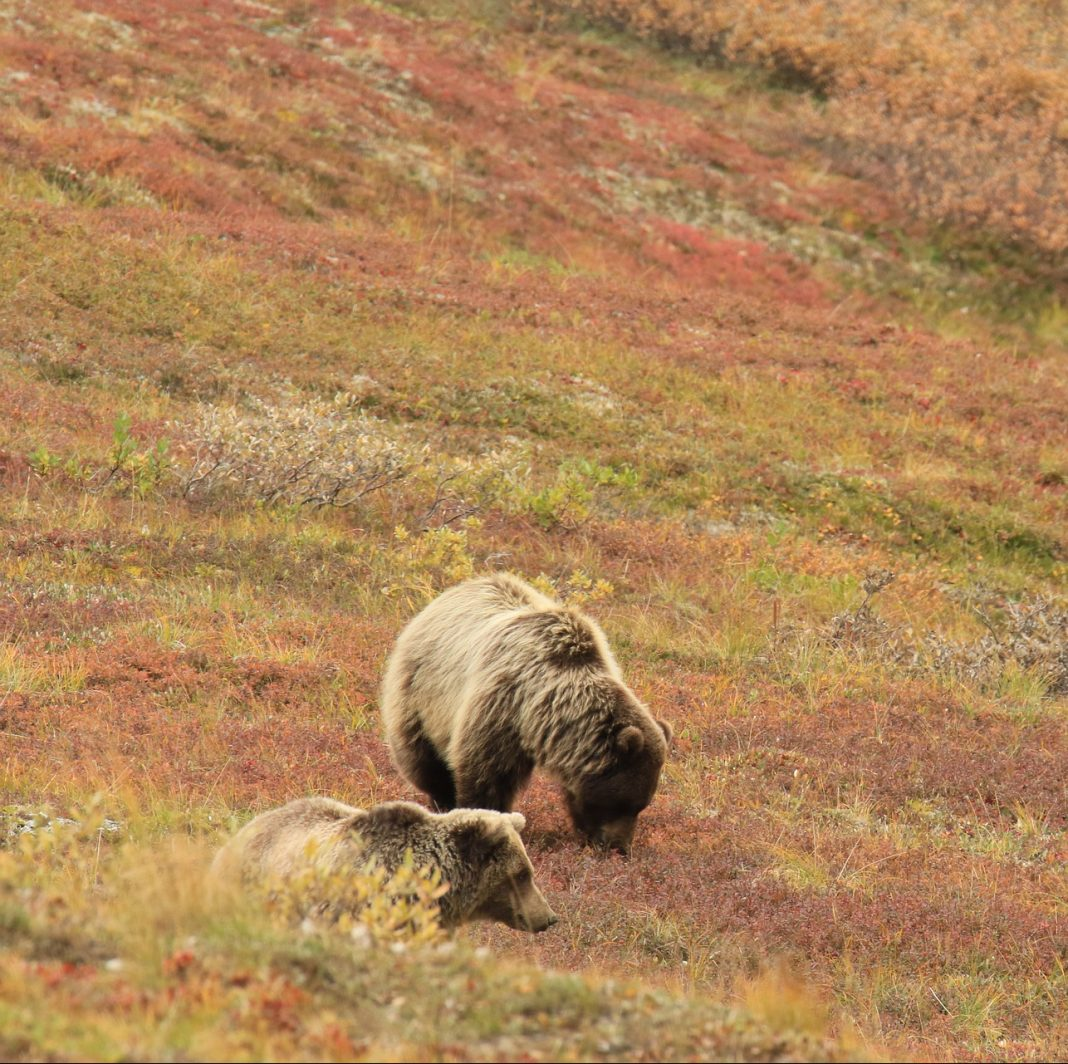 69-YEAR OLD MAN ATTACKED BY GRIZZLY