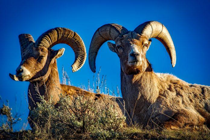 IDAHO BIGHORN SHEEP