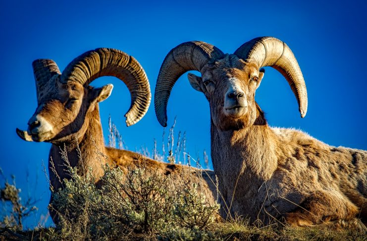 IDAHO BIGHORN SHEEP