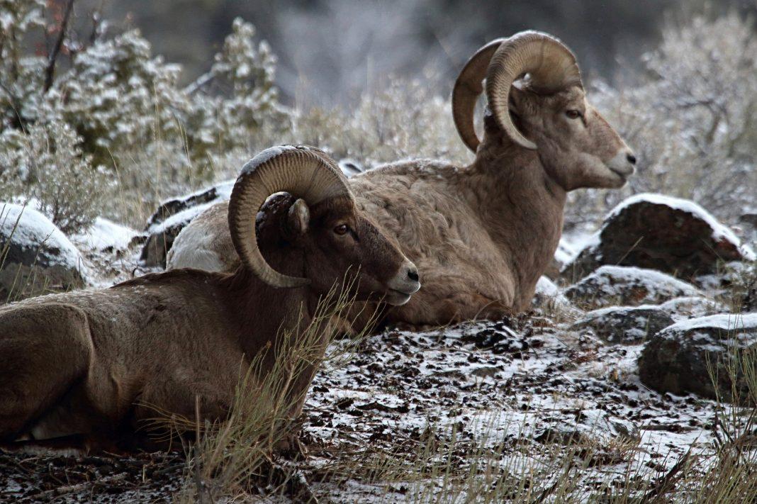 NORTH DAKOTA BIGHORN SHEEP TAG NUMBERS INCREASED