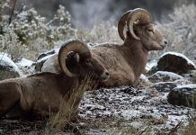 NORTH DAKOTA BIGHORN SHEEP TAG NUMBERS INCREASED