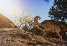 NEVADA SENDS WATER FOR BIGHORN SHEEP