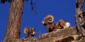 BIGHORN SHEEP REBOUNDING IN NORTH DAKOTA