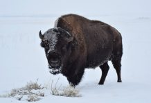 YELLOWSTONE TO CULL 500 - 700 BISON