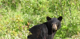 UTAH UPDATES BEAR MANAGEMENT PLAN