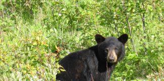UTAH UPDATES BEAR MANAGEMENT PLAN