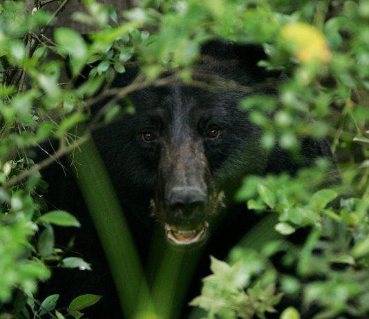 PLENTY OF BLACK BEARS