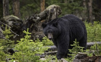 BLACK BEAR POACHERS WILL SERVE FULL SENTENCE