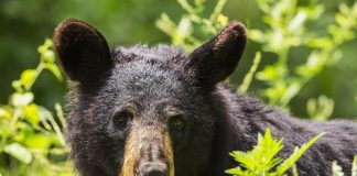 DNA CONFIRMS BEAR BIT WOMAN