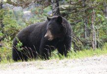 ANTI-HUNTER GUILTY ARSON BEAR HUNT