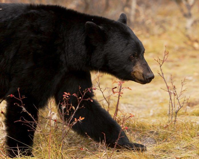COLORADO WOMAN BITTEN BY BEAR