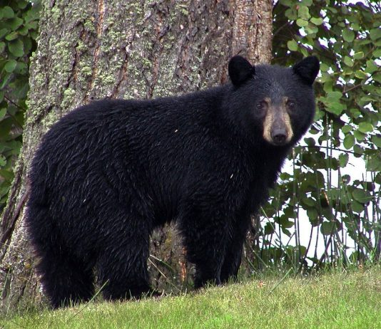 BEAR ATTACKS MAN LA SUBDIVISION