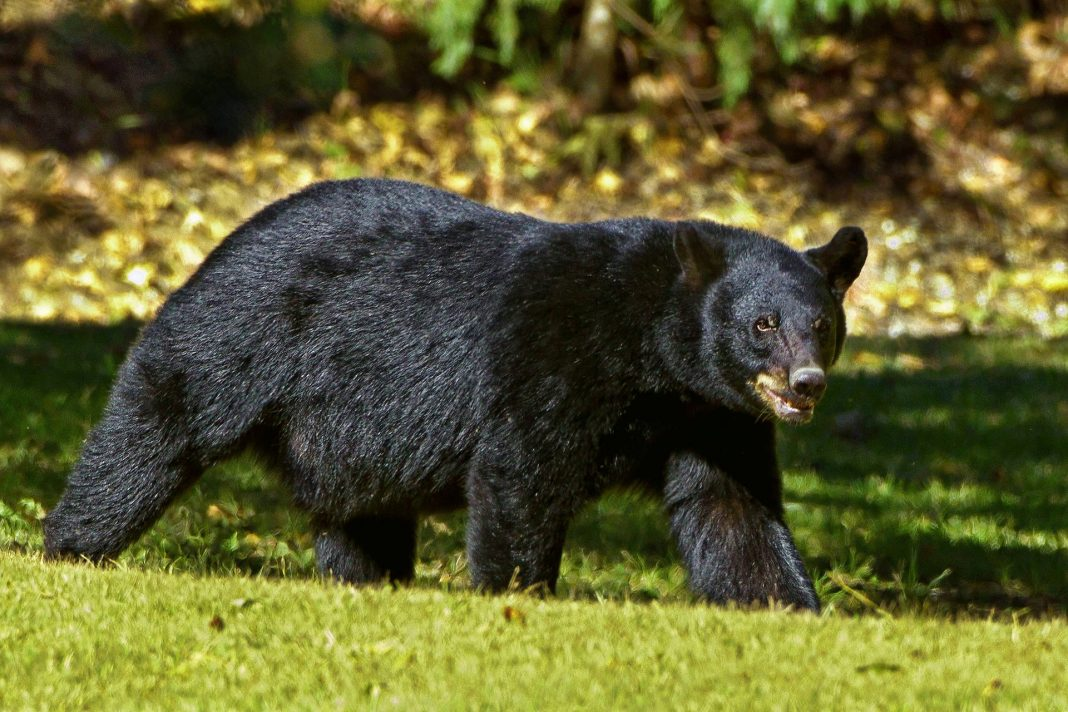CALIFORNIA BEAR BAN WITHDRAWN