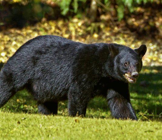 CALIFORNIA BEAR BAN WITHDRAWN