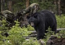 Alabama Bear Sightings Pixabay