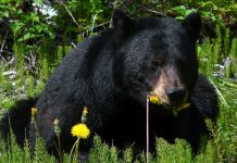 MISSOURI TO HOLD FIRST EVER BLACK BEAR HUNT
