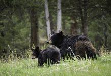 FIELD JUDGING BEARS
