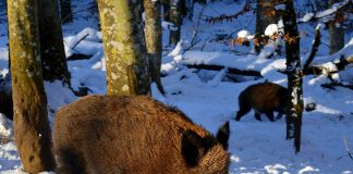 FERAL PIGS IN MONTANA