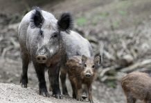 FERAL HOG STATISTICS ARE ALARMING