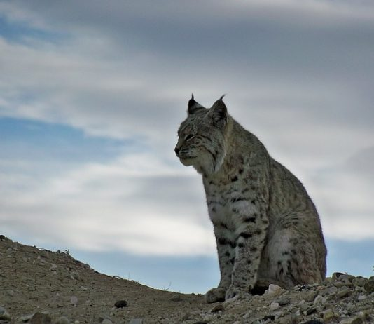 BOBCAT SEASON SHUT DOWN IN CALIFORNIA