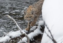 CALIFORNIA BAN BOBCAT HUNTING