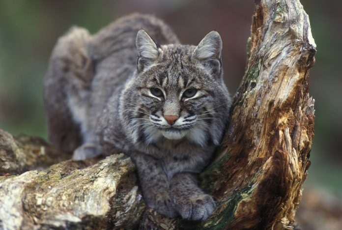 COLORADO BOBCAT BAN PETITION DENIED CPW