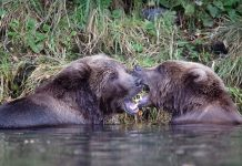 GRIZZLY BEAR ATTACKS BIOLOGIST IN MONTANA