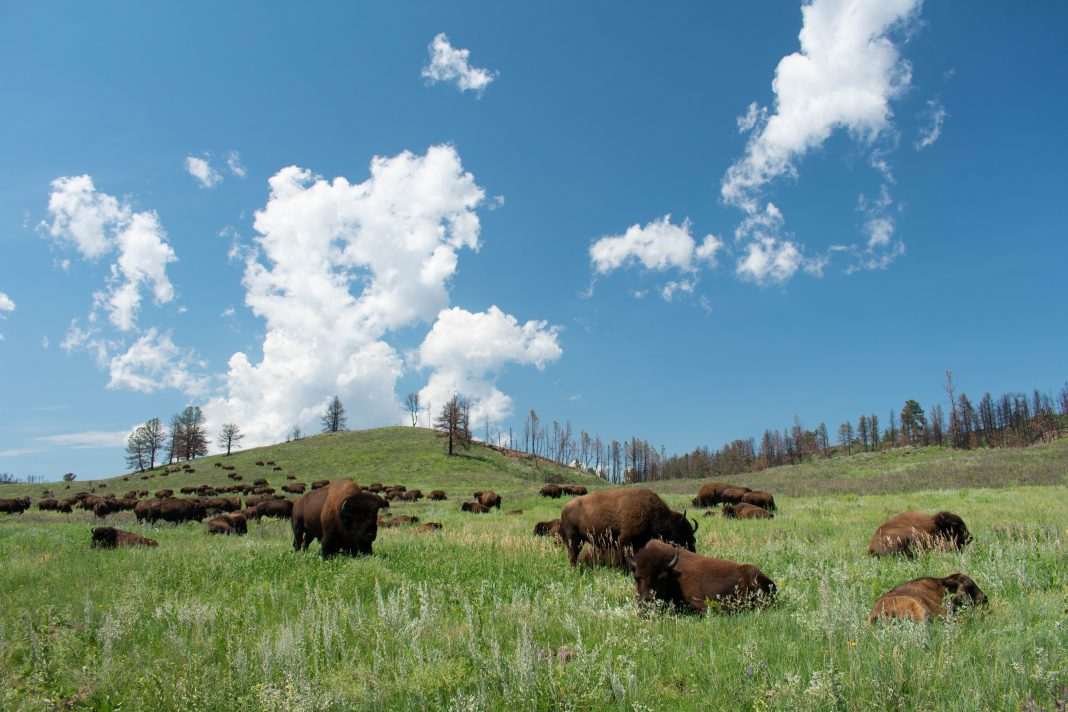 HERD OF 4 BISON EUTHANIZED