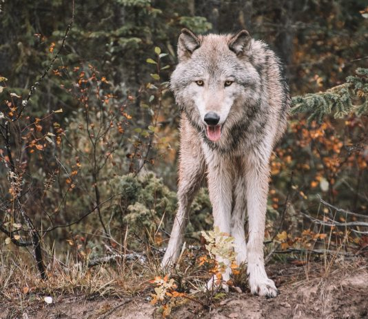 YELLOWSTONE WOLVES: 25 YEARS LATER