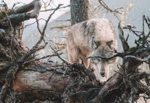 WASHINGTON STATE WOLF POPULATION ON THE RISE