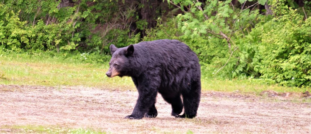 BEAR EUTHANIZED AFTER ENTERING HOME