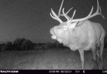 Bugling Bull Stealth Cam