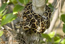 GET PAID HUNT EVERGLADES PYTHONS