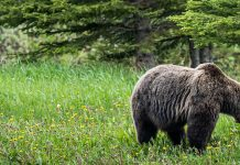 MONTANA COUNCIL QUESTIONING GRIZZLY HUNTS