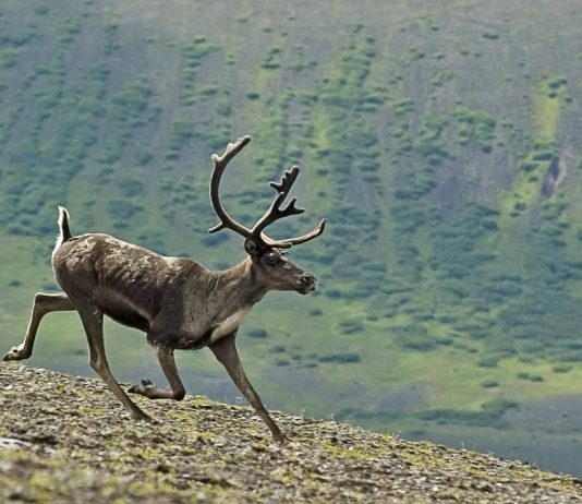 CANADAIN CARIBOU HUNTING BAN, A STORY OF TROUBLED MANAGEMENT