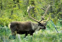 CARIBOU IN THE LOWER 48