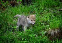 ARIZONA WOLF REINTRODUCTION