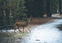 MONTANA APPROVES URBAN DEER CULLING