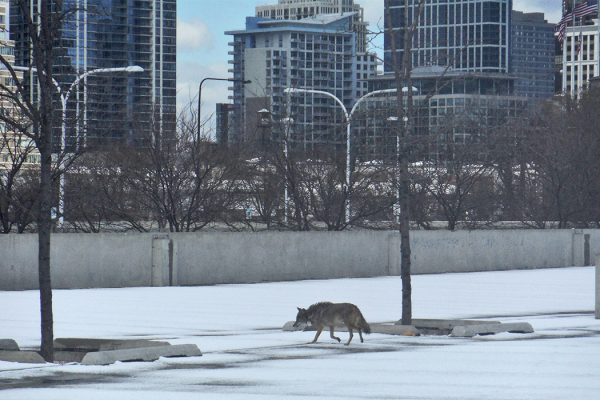 MAN KILLS COYOTE WITH BARE HANDS