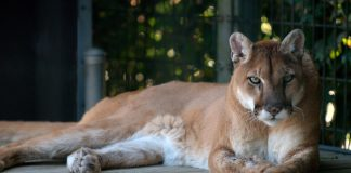 COUGAR TRAPS INFANT & MOTHER