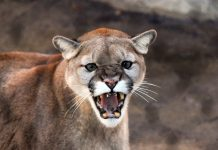 IDAHO APPROVES LARGE COUGAR HUNTING INCREASE