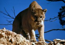 MOUNTAIN LION ATTACKS BOY