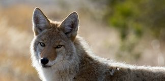 NEVADA COYOTE BILL EQUAL MANSLAUGHTER