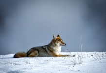 OREGON BILL LOOKS TO BAN COYOTE CONTESTS