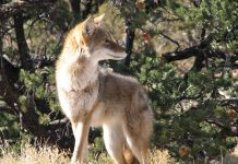OREGON COYOTE CONTEST BAN PASSES SENATE