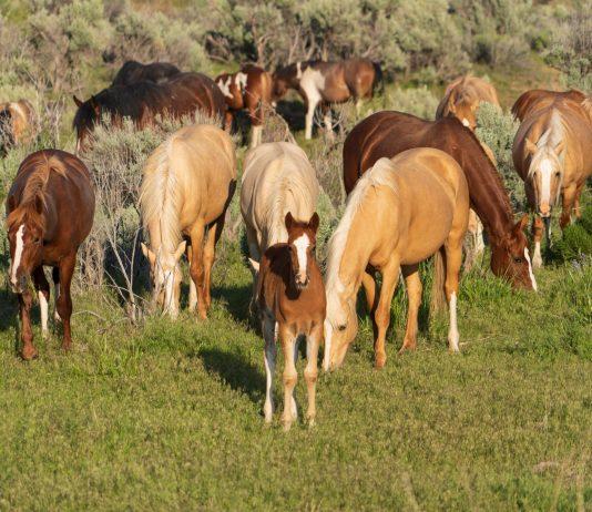 BLM SEEKS OFF-RANGE PASTURES FOR WILD HORSES