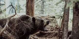 WYOMING SHED HUNTER ATTACKED BY GRIZZLY